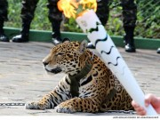 Thể thao - Hoảng sợ lễ rước đuốc Olympic: Báo đốm bị bắn chết