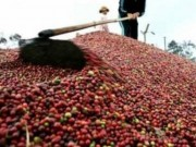 """Thị trường - Tiêu dùng - Giá cà phê lên """"đỉnh"""" cao nhất từ đầu năm"""