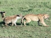 Thế giới - Sư tử bị linh cẩu ngoạm đuôi, cướp thức ăn trắng trợn
