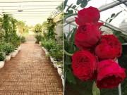 Bạn trẻ - Cuộc sống - Ông bố 8X sở hữu vườn hồng rực rỡ 1000m2