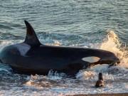 Phi thường - kỳ quặc - Cá voi sát thủ đồ sộ lao lên bờ bắt sư tử biển