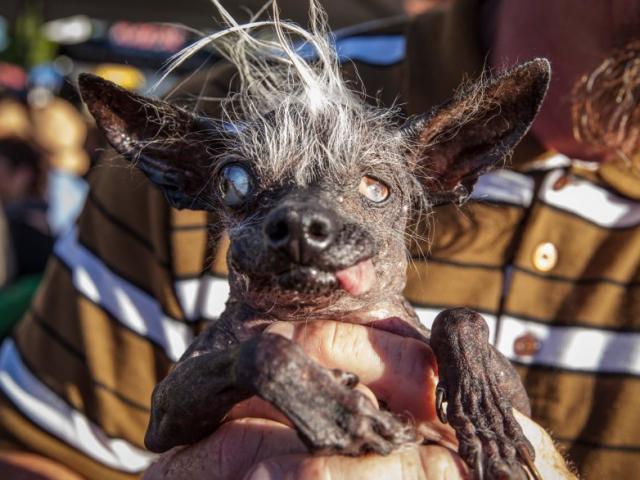 """Chú chó xấu nhất thế giới """"ẵm"""" 33 triệu đồng tiền thưởng"""