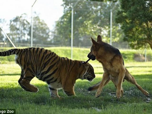 Tình bạn keo sơn suốt 7 năm của chó béc-giê và hổ