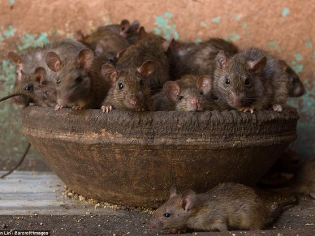 Nơi 20.000 chuột được con người thờ như thần linh