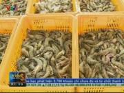 Thị trường - Tiêu dùng - Nhiều DN xuất khẩu thiếu nguyên liệu vì tôm bẩn