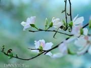 Du lịch - Đắm say bất tận với mùa hoa ban trắng ở Tây Bắc