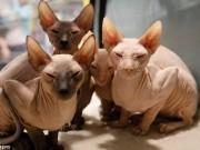 Mèo không lông, nhăn nheo như tấm giẻ giá 2.000 USD