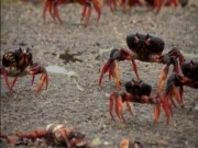 Phi thường - kỳ quặc - Triệu con cua 3 màu hành quân rầm rập ở Cuba