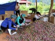 Thị trường - Tiêu dùng - Sơn La: Nông dân vui vì... mận hậu mất mùa, nhưng được giá