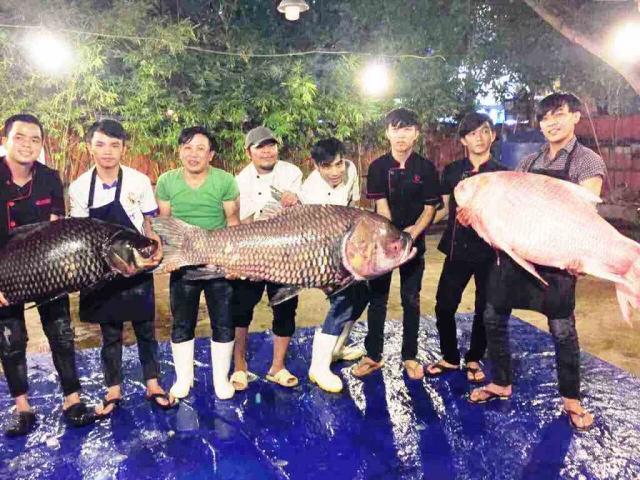 """Bộ 3 cá hô """"khủng"""" màu hồng, vàng, đen xuất hiện ở Sài Gòn"""