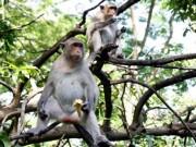 Tin tức trong ngày - Chuyện kỳ lạ về đàn khỉ nương náu ngôi chùa ở Vũng Tàu
