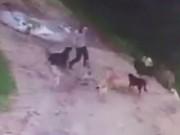 Thế giới - Đàn chó hoang ăn sống người đàn ông say rượu ở Nga