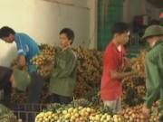 Video An ninh - Thương lái Trung Quốc bất ngờ ngừng mua vải thiều