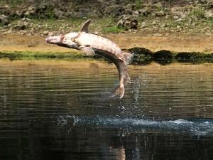 Tin tức trong ngày - Mỹ: Chèo thuyền trên sông, bé 5 tuổi bị cá tầm giết chết