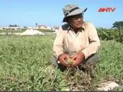 Giá cả - Nông dân huyện đảo Lý Sơn mất trắng mùa dưa hấu