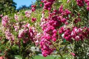 8X + 9X - Ngắm những con phố rực rỡ sắc hoa ở Canada