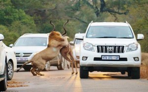 """Tin tức trong ngày - Sư tử rượt mồi trên cao tốc, du khách """"hết hồn"""""""