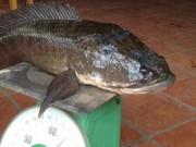 Thị trường - Tiêu dùng - Choáng với cá lóc khủng nuôi trong... hồ kiếng