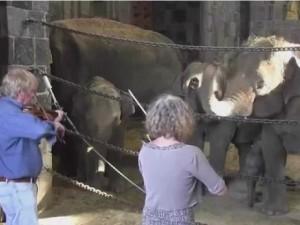 Phi thường - kỳ quặc - Video: Ngạc nhiên xem chú voi cảm thụ tiếng đàn Violin