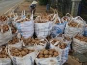 Giá cả - Khoai tây Đà Lạt khan hiếm, hàng TQ rục rịch tràn về