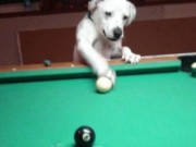 Thể thao - Ngỡ ngàng với chú chó chơi bi-a tuyệt đỉnh