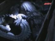 Thị trường - Tiêu dùng - Bắt xe chở 1.300 con cá sấu tại Quảng Ninh