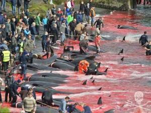Tin tức trong ngày - Cận cảnh cuộc đi săn cá voi đẫm máu ở quần đảo Faroe
