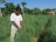 Thị trường - Tiêu dùng - Chàng trai Chăm trồng măng tây xanh làm giàu