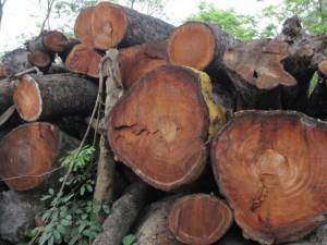 Tiếp tục đấu giá gỗ cây xanh, HN thu gần 400 triệu đồng