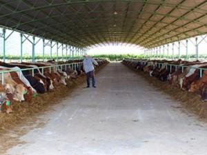 Tài chính - Bất động sản - Đại gia đổ ngàn tỉ trồng rau, nuôi bò