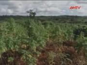 Video An ninh - Phát hiện khu đất rẫy 2.000m2 trồng cần sa