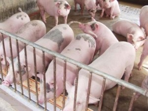 Thị trường - Tiêu dùng - Gom lợn bán sang Trung Quốc đẩy giá thịt lợn tăng