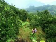 """Du lịch - Về Tuyên Quang ghé thăm """"vương quốc cam sành"""" Hàm Yên"""