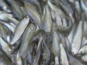 Thị trường - Tiêu dùng - Đặc sản cá linh non đầu mùa đắt hơn thịt bò