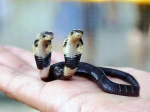 Phi thường - kỳ quặc - Video: Kinh hãi xem rắn hổ mang 2 đầu ở Trung Quốc