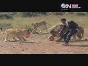 Video An ninh - Thót tim xem người đàn ông đá bóng với sư tử