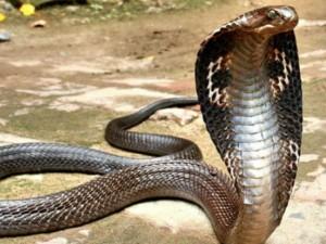 Chuyện lạ - 5 loài rắn khổng lồ nhất Ấn Độ