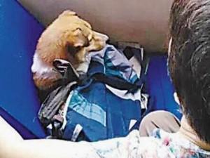Thế giới - TQ: Tranh ghế xe bus cho chó cưng gây phẫn nộ