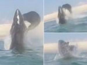 Phi thường - kỳ quặc - Video: Kinh ngạc hải cẩu tấn công cá mập trắng