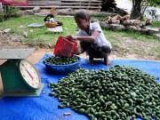 Giá cả - Ồ ạt thu mua cau non bán cho Trung Quốc