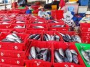 Thị trường - Tiêu dùng - Trúng đậm cá ngừ sọc dưa, ngư dân kiếm cả trăm triệu đồng