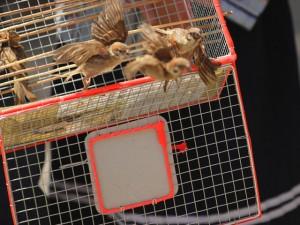Cái chết bi thương của chim phóng sinh mùa Vu Lan