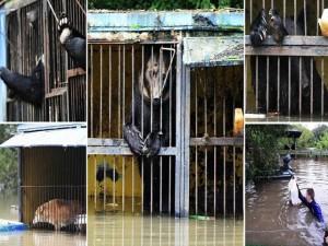 Tin tức trong ngày - Nga: Giải cứu gấu nâu đáng thương do sở thú ngập lụt
