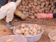"""Thị trường - Tiêu dùng - Chiêu """"tân trang"""" khoai tây kém chất lượng"""