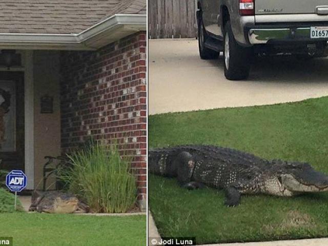 Clip: Cá sấu bật nắp cống chui ra, húc vào cửa nhà dân