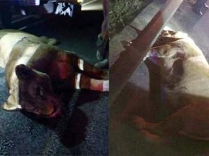 Tin tức trong ngày - TQ: Cảnh sát bắn chết sư tử tháo chạy trên cao tốc