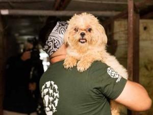Tin tức trong ngày - Hàn Quốc: Giải cứu chó được nuôi lấy thịt đưa tới Mỹ