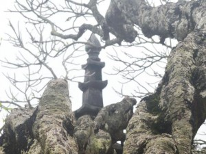 Du lịch Việt Nam - Ngắm cây đại cổ 700 trăm năm ở non thiêng Yên Tử