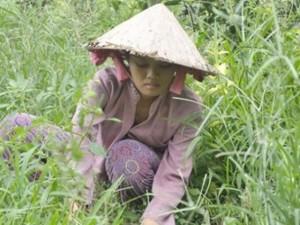 Bạn trẻ - Cuộc sống - Nữ sinh làm cỏ thuê kiếm tiền vào đại học