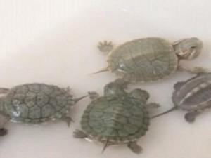 """Phi thường - kỳ quặc - Rùa sơ sinh hai đầu """"30 triệu con mới có một"""""""